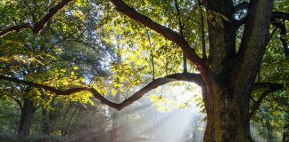 100-Year-Old Tree Gets a Bride