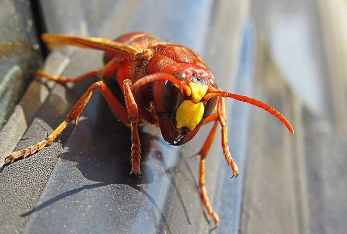 They're Back: Massive Murder Hornet Nest Located on US Soil