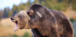 Grizzly Bear Meets Its End in Unbelievable Confrontation